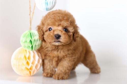 トイプードルの子犬(ID:1250011127)の1枚目の写真/更新日:2017-06-08