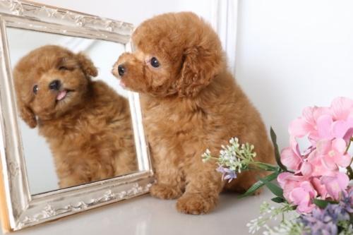 トイプードルの子犬(ID:1250011127)の3枚目の写真/更新日:2017-06-08