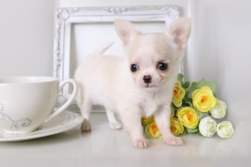 チワワ(ロング)の子犬(ID:1250011128)の1枚目の写真/更新日:2017-07-17