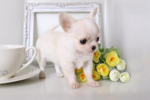 チワワ(ロング)の子犬(ID:1250011128)の3枚目の写真/更新日:2017-07-17