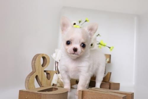 チワワ(ロング)の子犬(ID:1250011128)の4枚目の写真/更新日:2017-07-22