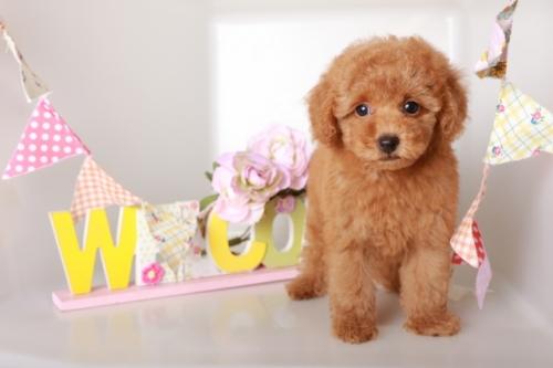 トイプードルの子犬(ID:1250011129)の1枚目の写真/更新日:2019-10-26