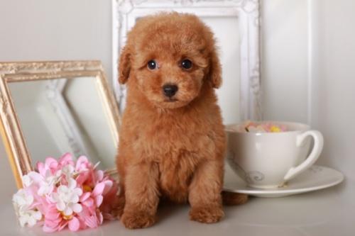 トイプードルの子犬(ID:1250011129)の2枚目の写真/更新日:2019-10-26