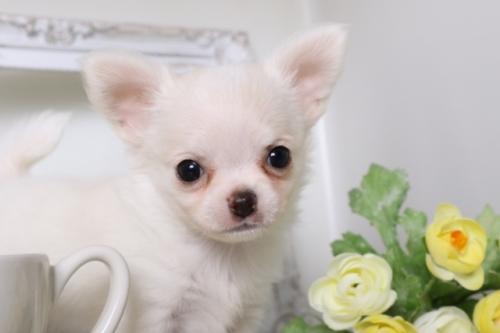 チワワ(ロング)の子犬(ID:1250011130)の1枚目の写真/更新日:2017-07-17