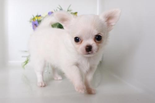 チワワ(ロング)の子犬(ID:1250011130)の2枚目の写真/更新日:2017-07-17
