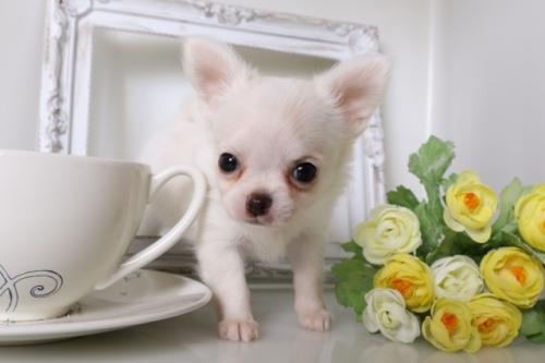 チワワ(ロング)の子犬(ID:1250011130)の3枚目の写真/更新日:2017-07-17