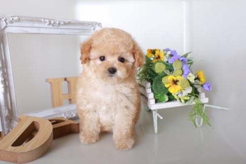 トイプードルの子犬(ID:1250011132)の1枚目の写真/更新日:2017-08-22