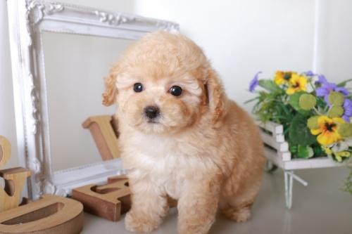 トイプードルの子犬(ID:1250011132)の2枚目の写真/更新日:2017-08-22