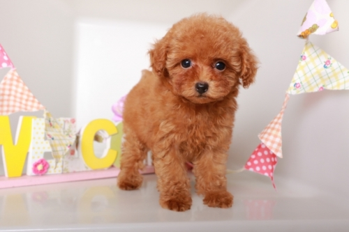 トイプードルの子犬(ID:1250011133)の1枚目の写真/更新日:2017-09-21