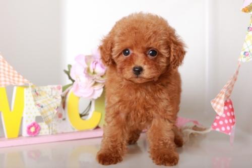 トイプードルの子犬(ID:1250011133)の2枚目の写真/更新日:2017-09-21