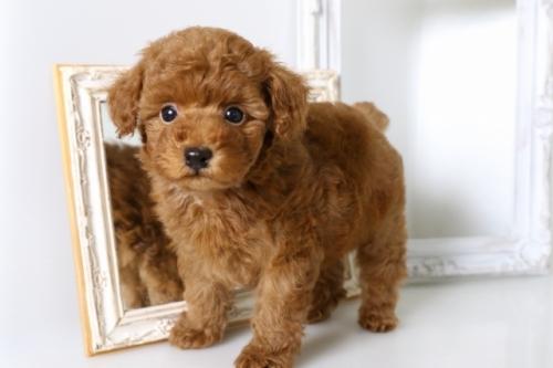 トイプードルの子犬(ID:1250011134)の1枚目の写真/更新日:2017-09-21