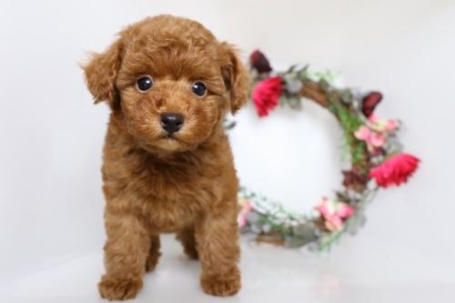 トイプードルの子犬(ID:1250011134)の2枚目の写真/更新日:2017-09-21