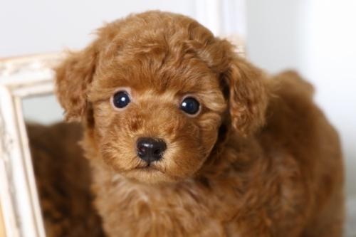 トイプードルの子犬(ID:1250011134)の3枚目の写真/更新日:2017-09-21