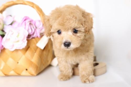 トイプードルの子犬(ID:1250011135)の2枚目の写真/更新日:2017-09-21