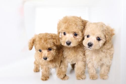 トイプードルの子犬(ID:1250011135)の4枚目の写真/更新日:2017-09-21