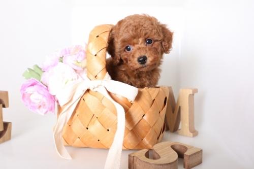 トイプードルの子犬(ID:1250011136)の1枚目の写真/更新日:2017-09-21