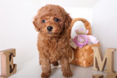 トイプードルの子犬(ID:1250011136)の2枚目の写真/更新日:2017-09-21