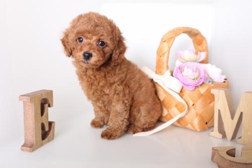 トイプードルの子犬(ID:1250011136)の3枚目の写真/更新日:2017-09-21