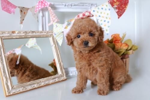 トイプードルの子犬(ID:1250011137)の1枚目の写真/更新日:2020-09-19