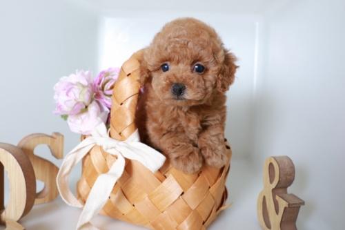 トイプードルの子犬(ID:1250011137)の2枚目の写真/更新日:2020-09-19