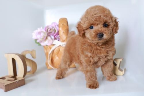 トイプードルの子犬(ID:1250011137)の3枚目の写真/更新日:2020-09-19