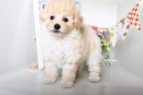 トイプードルの子犬(ID:1250011139)の1枚目の写真/更新日:2017-10-17