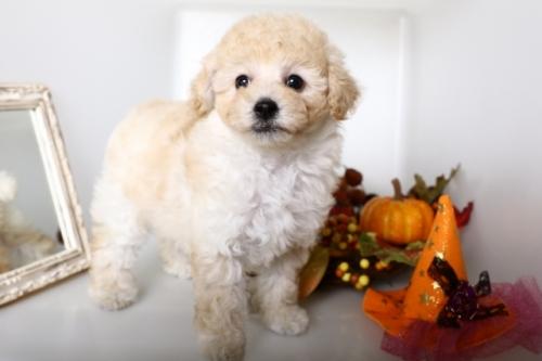 トイプードルの子犬(ID:1250011139)の2枚目の写真/更新日:2017-10-17