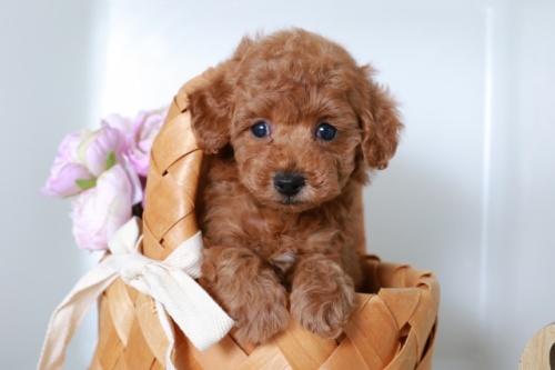 トイプードルの子犬(ID:1250011140)の1枚目の写真/更新日:2020-09-19