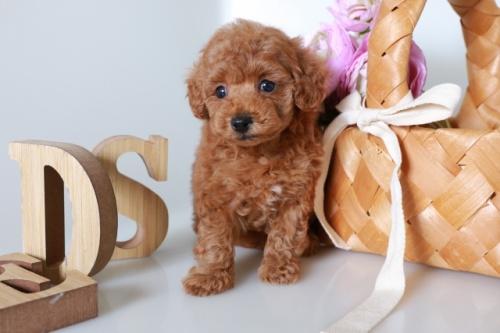 トイプードルの子犬(ID:1250011140)の2枚目の写真/更新日:2020-09-19