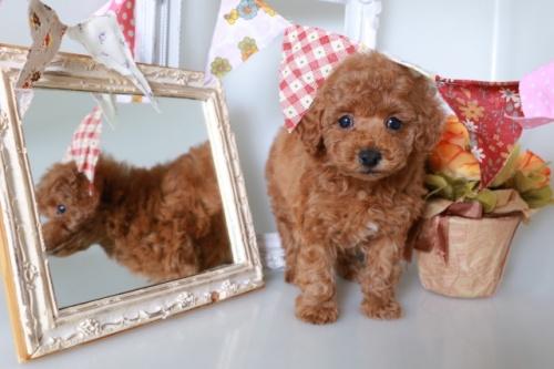 トイプードルの子犬(ID:1250011140)の3枚目の写真/更新日:2020-09-19