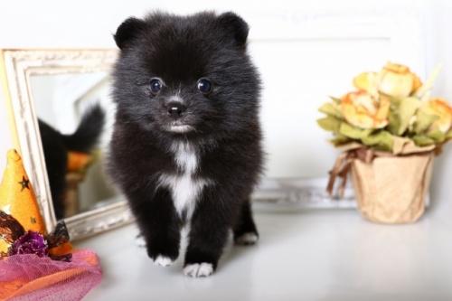 ポメラニアンの子犬(ID:1250011141)の1枚目の写真/更新日:2017-10-17