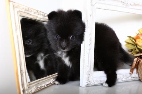 ポメラニアンの子犬(ID:1250011141)の2枚目の写真/更新日:2017-10-17