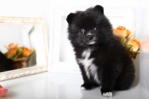 ポメラニアンの子犬(ID:1250011141)の3枚目の写真/更新日:2017-10-17