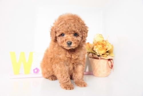 トイプードルの子犬(ID:1250011142)の1枚目の写真/更新日:2017-11-29