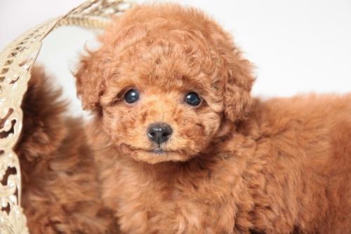 トイプードルの子犬(ID:1250011142)の3枚目の写真/更新日:2017-11-29