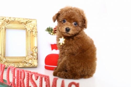トイプードルの子犬(ID:1250011143)の1枚目の写真/更新日:2017-11-29