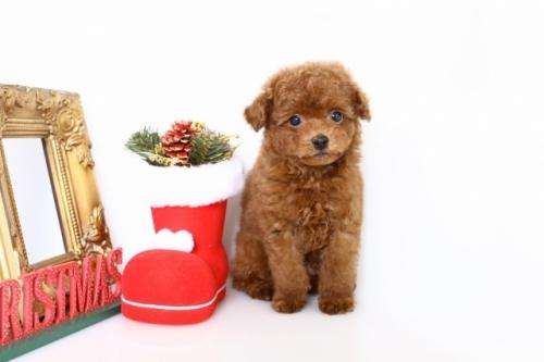 トイプードルの子犬(ID:1250011143)の2枚目の写真/更新日:2017-11-29