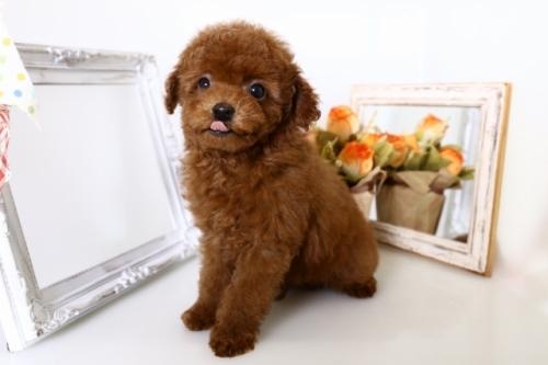 トイプードルの子犬(ID:1250011143)の3枚目の写真/更新日:2017-11-29
