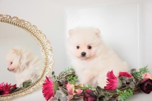 ポメラニアンの子犬(ID:1250011144)の2枚目の写真/更新日:2017-11-29