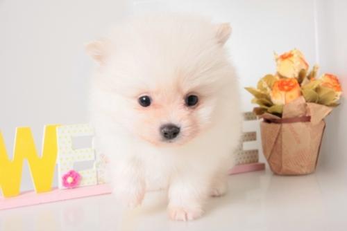 ポメラニアンの子犬(ID:1250011144)の3枚目の写真/更新日:2017-11-29