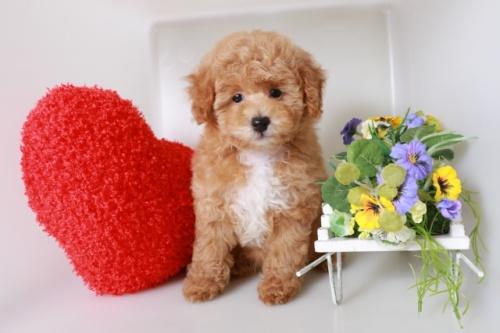 トイプードルの子犬(ID:1250011146)の1枚目の写真/更新日:2020-10-04