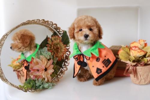 トイプードルの子犬(ID:1250011146)の3枚目の写真/更新日:2020-10-04