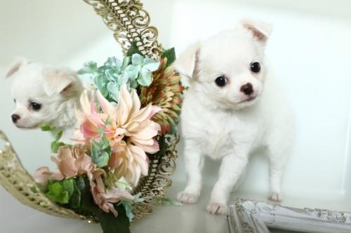 チワワ(ロング)の子犬(ID:1250011150)の1枚目の写真/更新日:2018-02-19