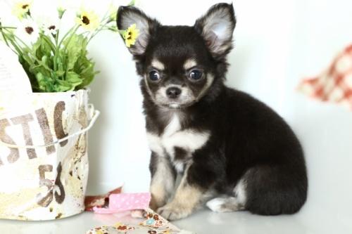 チワワ(ロング)の子犬(ID:1250011151)の1枚目の写真/更新日:2018-02-19