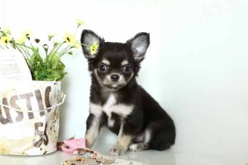 チワワ(ロング)の子犬(ID:1250011151)の2枚目の写真/更新日:2018-02-19