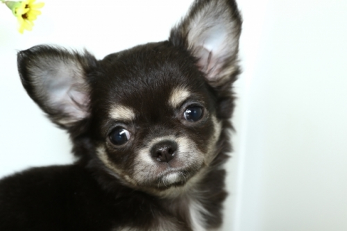 チワワ(ロング)の子犬(ID:1250011151)の3枚目の写真/更新日:2018-02-19