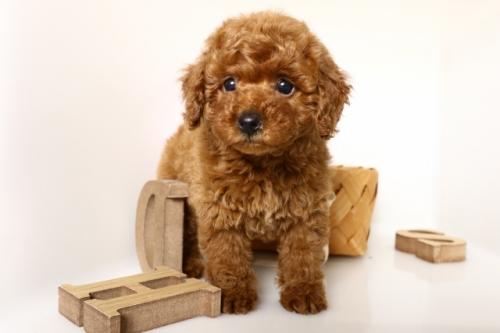 トイプードルの子犬(ID:1250011152)の2枚目の写真/更新日:2018-04-13