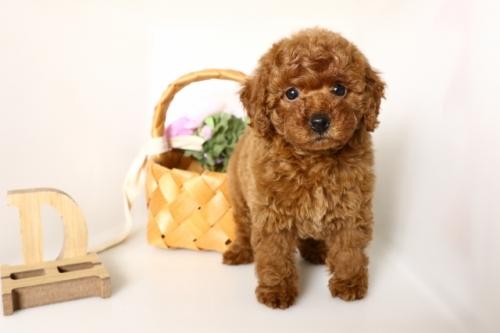 トイプードルの子犬(ID:1250011152)の3枚目の写真/更新日:2018-04-13