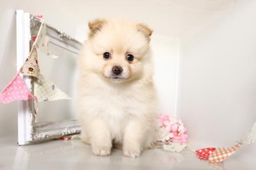 ポメラニアンの子犬(ID:1250011153)の1枚目の写真/更新日:2018-04-16