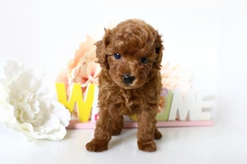 トイプードルの子犬(ID:1250011154)の1枚目の写真/更新日:2018-05-05